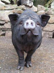 Pot-Bellied-Pig.jpg6